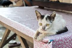 Little sick cat on a table. Watching me in Jakarta street Royalty Free Stock Image