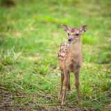 Little sika deer. In the field Stock Image