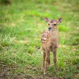 Little sika deer Stock Image