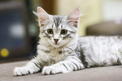 Little silver cat, siberian breed. Puppy cat of siberian breed, silver version Stock Image