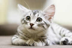 Little silver cat, siberian breed. Puppy cat of siberian breed, silver version royalty free stock images