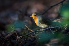 A little singing bird in the bushes Royalty Free Stock Images