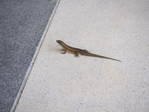 Skink on the floor. Little skink on the floor Royalty Free Stock Photos