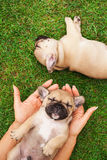 Little sleeping French bulldog puppie Royalty Free Stock Photos