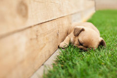 Little sleeping French bulldog puppie Stock Photography