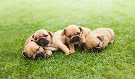 Little sleeping French bulldog puppies Royalty Free Stock Image