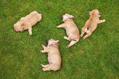 Little sleeping French bulldog puppies Stock Images