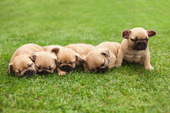 Little sleeping French bulldog puppies Royalty Free Stock Photos