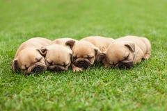Little sleeping French bulldog puppies Royalty Free Stock Photos