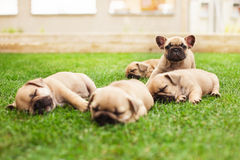 Little sleeping French bulldog puppies Stock Photos