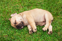 Little sleeping French bulldog puppy Royalty Free Stock Image