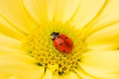 Little sleeping  ladybug. Little ladybug sleeping on yellow flower Royalty Free Stock Photo