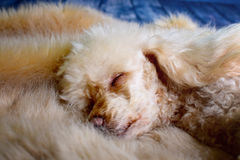 Little sleeping poodle Royalty Free Stock Image