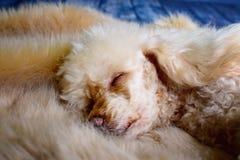 Little sleeping poodle Royalty Free Stock Image
