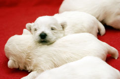 Little Sleeping Puppies Royalty Free Stock Photos