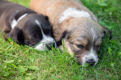 Little sleeping puppies. Two little sleeping puppies lying in backgarden Royalty Free Stock Photography
