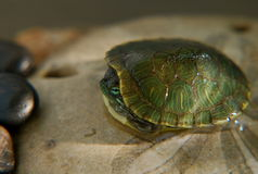 Little slider turtle. Small red slider turtle hiding in it's shell royalty free stock photography