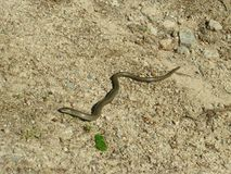 Little slow worm, Anguis fragilis Royalty Free Stock Images