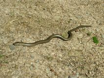 Little slow worm lying on the sand Stock Photo