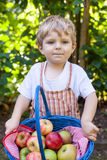 Little toddler boy holding big basket with fresh apples Stock Images