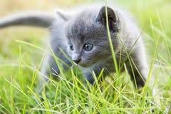 Little smoky blue cat in green summer grass Stock Image