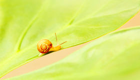 Little snail Stock Image