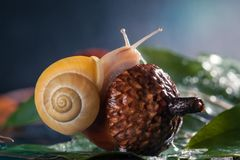 Little Snail atop acorn. Magic snail creeps on a acorn. Little Snail atop acorn. Closeup stock photography