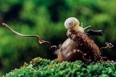 Snail on the acorn royalty free stock photography