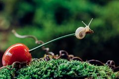Little snail climbed a cherry royalty free stock photos