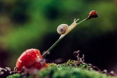 Little snail climbed a cherry with ledybug royalty free stock photo