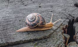 Little snail. Crawling across a large felled tree Stock Photo