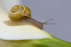 Snail crawling Royalty Free Stock Photography