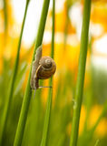 Little snail crawling on the stem of a Lily. Hot summer day in the garden. Royalty Free Stock Photo
