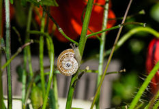 Little snail crawling up the stem of the red poppy flower Stock Image