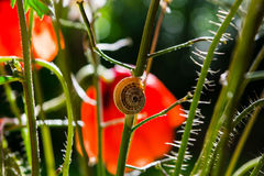 Little snail crawling up the stem of the red poppy flower Stock Photo