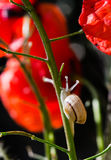 Little snail crawling up the stem of the red poppy flower Stock Photos