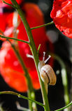 Little snail crawling up the stem of the red poppy flower Royalty Free Stock Photography