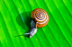 Little snail Royalty Free Stock Image