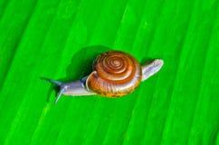 Little snail Stock Image