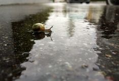 Little snail crossing the sidewalks on a rainy day Royalty Free Stock Photography