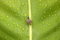 Little snail on green leaf Royalty Free Stock Images