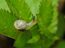 Little snail on the green leaf of a plant Royalty Free Stock Image