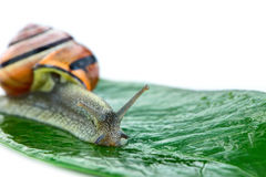 Little snail Helix aspersa on the green leaf Royalty Free Stock Image