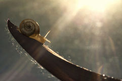 Little snail on the leaf Royalty Free Stock Images