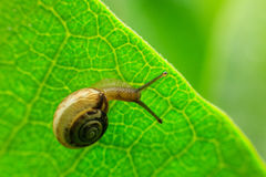 Little snail on the leaf royalty free stock photography