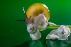Little snail with lily of the valley. Magic snail creeps on a lily of the valley stock photography
