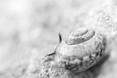 Little snail look behind its shell Royalty Free Stock Image