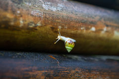 Little snail on the old bamboo Stock Image
