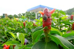 Little snail on red color of Indian Head Ginger,Costus speciosus. stock image