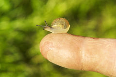Little snail sitting on a top of finger. Green background Stock Image